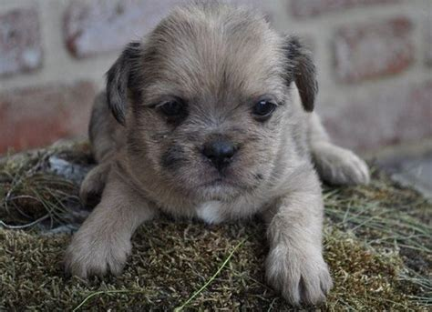 shih tzu cross breeds cross breed pug and shih tzu 1001doggy