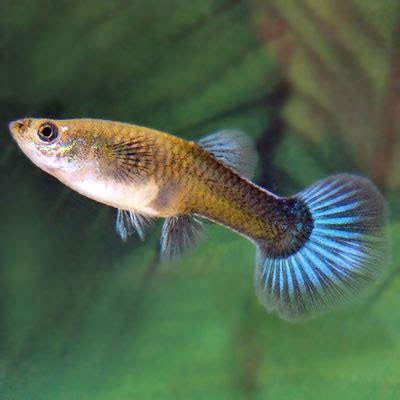 Small Home Decorations by Female Fancy Guppy Poecilia Reticulate For Sale