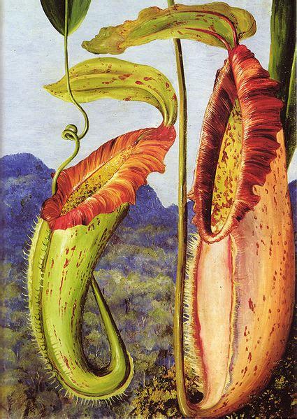 The Birth Of The Karya I J Satyabudi file nepenthes northiana by marianne jpg