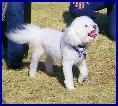 shih tzu and precious paws rescue madisonville tn pet adoption precious paws asian and autos post