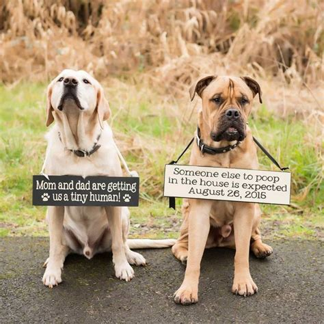 pregnancy announcements with dogs best 25 pregnancy announcement ideas on pregnancy announcements