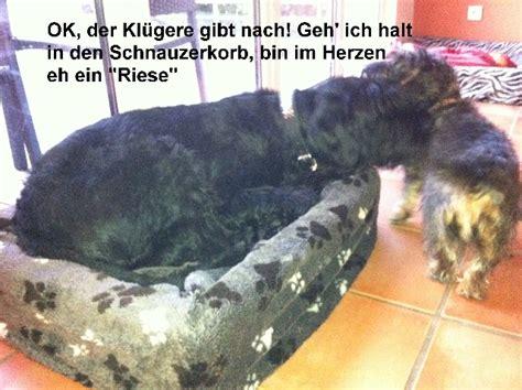 Hund Zieht Decke Weg by Althund Legt Sich Pl 246 Tzlich In Viel Zu Kleines K 246 Rbchen