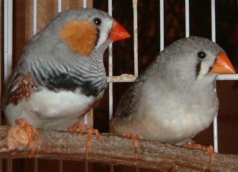 uccellini in gabbia il diamantino mandarino uccelli da voliera