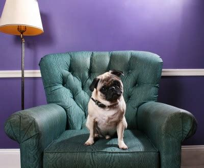 pug on couch combating pet hair laundry care professional laundry