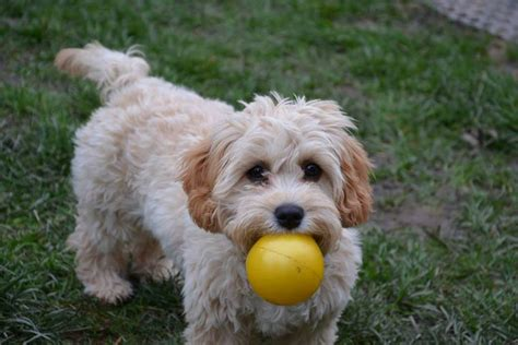 cavapoo puppies breeders breeders view advert cavapoo puppies for sale