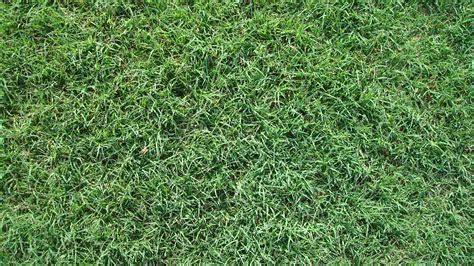 home bermuda grass common bermuda