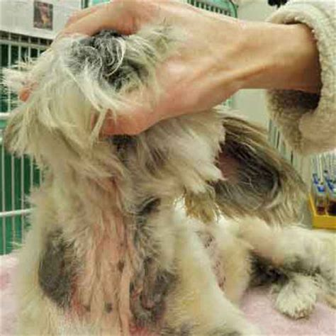 common shih tzu diseases dermatology allergy clinic for animals diseases allergies