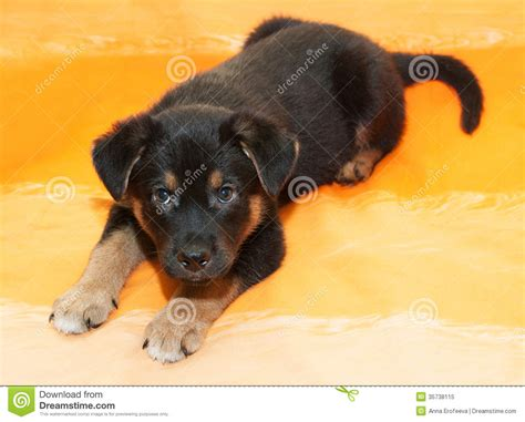 small black and brown small black puppy with brown markings lies stock image image 35738115