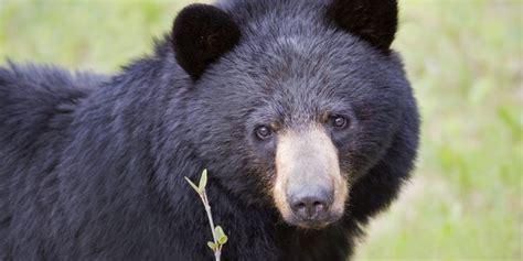 imagenes oso negro banorte reafirma su apoyo a la conservaci 243 n del oso negro