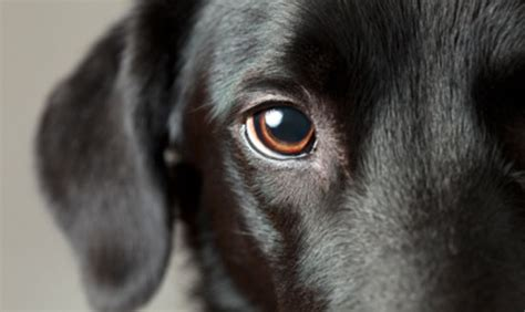 dilated pupils in dogs glaucoma in dogs 187 albuquerque vetco