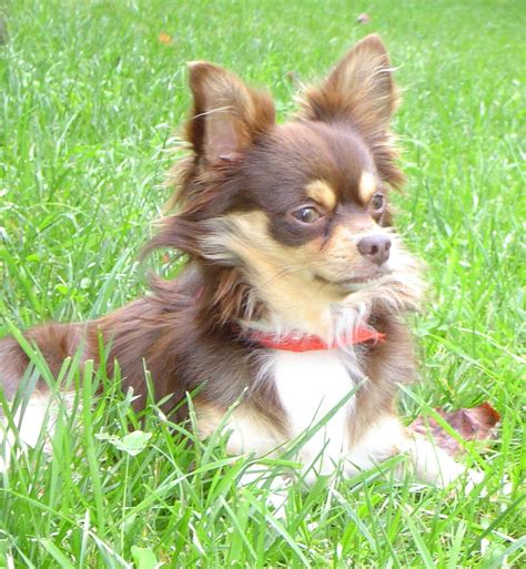 long hair chihuahua hair growth what to expect breeeding short and long hair chihuahua pictures to pin on
