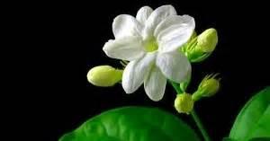 budidaya bunga melati jasmine officinalle tangan petani