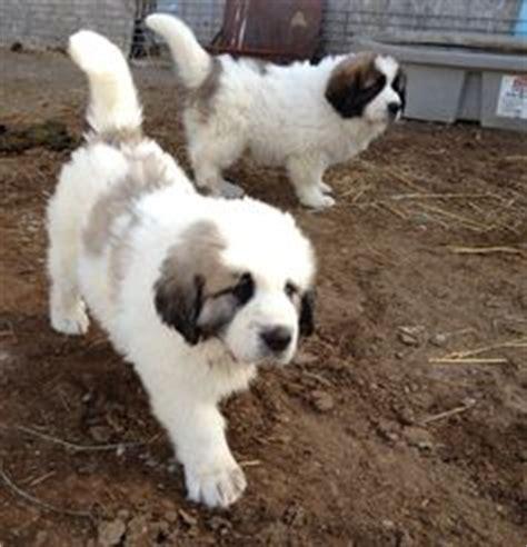 pyrenean mastiff puppies pyrenean mastiff mast 237 n pirineo finally the 1 largest breed the pyrenean