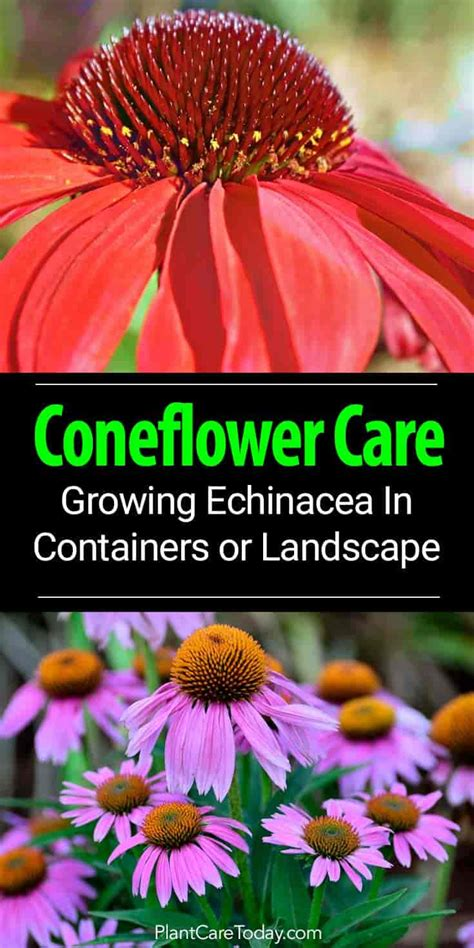 coneflower care growing echinacea as a landscape or container plant