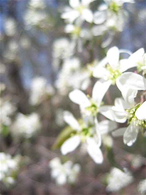 white flowering trees early spring flickr photo sharing