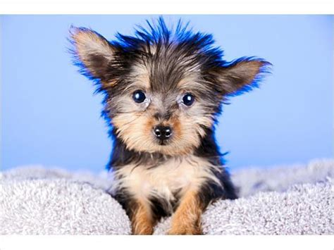 teacup yorkies houston teddy yorkie puppies ready in houston tx pets for sale locopost