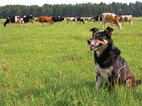 best farm dogs best farm breeds animals grit magazine