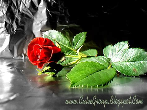 wallpaper cute rose cute roses wallpapers the world of fun cutee group