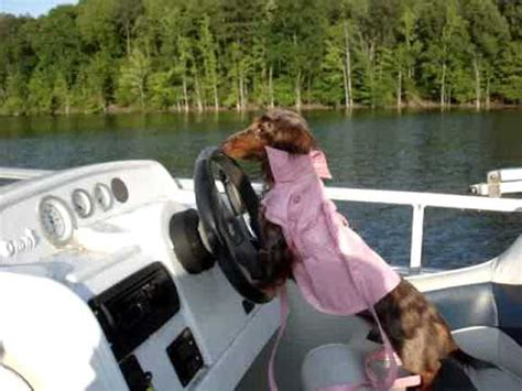dog driving boat video dog driving boat youtube