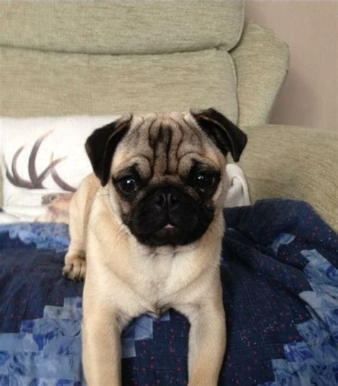 7 month pug 7 month pug puppy for sale gateshead tyne and wear pets4homes