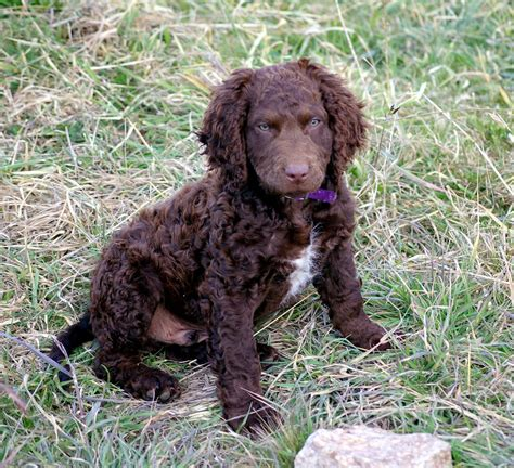 Curly Coated Retriever Breeders Profiles and Pictures ...