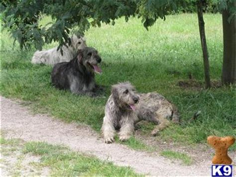 wolfhound puppies for sale price wolfhound puppies for sale 1608