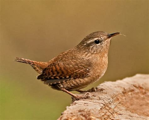 snacking jenny wren a tiny little wren having a