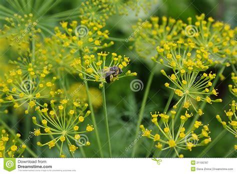 fiori di finocchio fiori di finocchio e di un ape nell orto fotografia stock