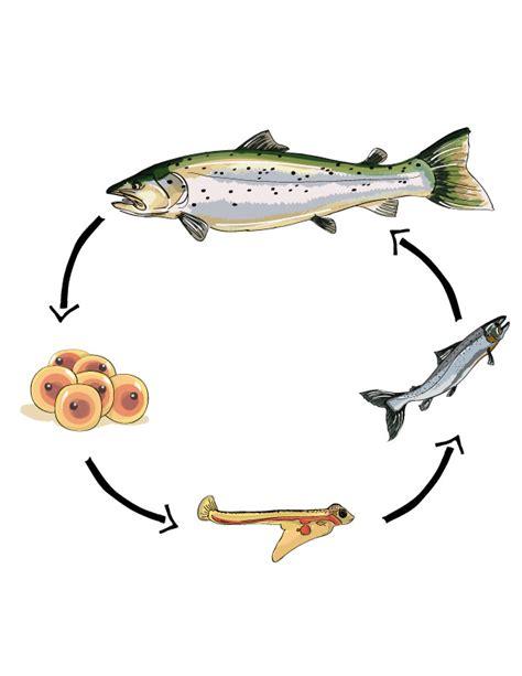 fish for life a wild atlantic salmon fish aquatic life cycle by angelrosemunoz on