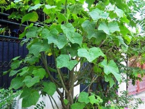 Jual Pohon Jarak Pagar Tanaman Jarak manfaat tanaman jarak pagar sebagai tanaman hias bengkel teknologi industri pertanian