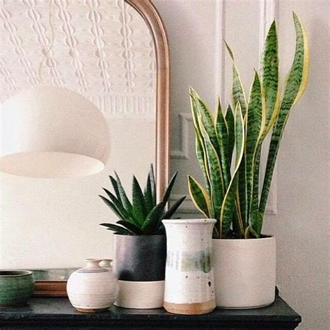 pretty indoor plants by ozana snake plant on my credenza
