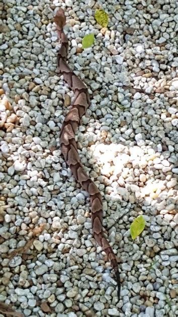 south carolina venomous snakes biting  record pace news postandcouriercom