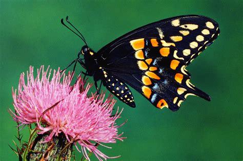 imagenes con mariposas image gallery imagenes de mariposas