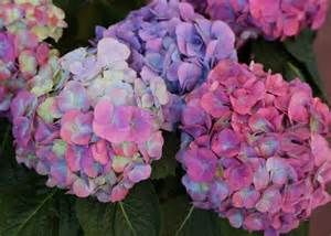 changing hydrangea color how to change hydrangea flower color hgtv