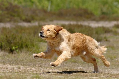 running golden retriever golden retriever golden retriever pet insurance info