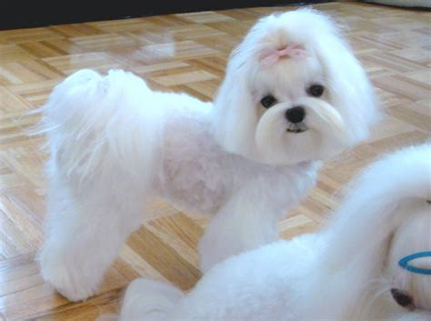 different maltese haircuts japanese dog grooming styles google search maltese