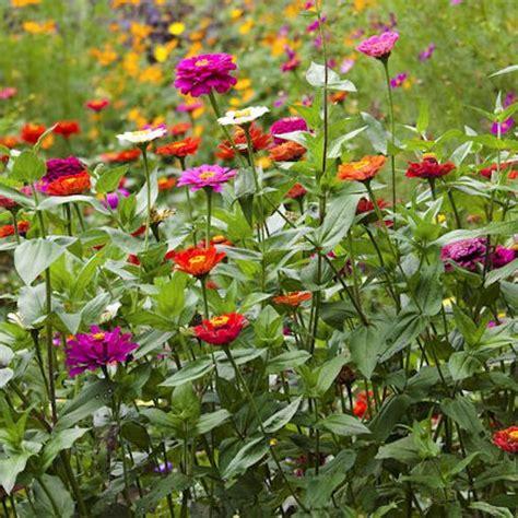 Zinnia Elegans Seeds For Your Butterfly Garden Zinnias Flower Garden