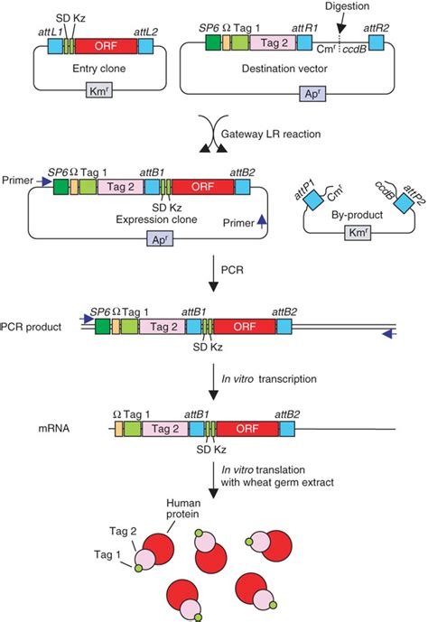 protein synthesis diagram 5 best images of protein synthesis chart protein