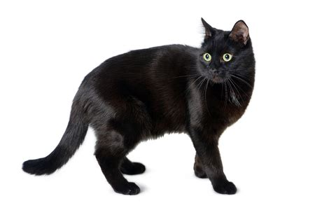 national black day 2017 national black cat appreciation day is august 17 2017 the contemporary pet