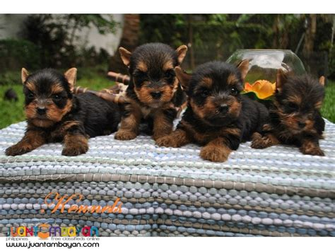 yorkie for sell terrier yorkie puppies for sale para 241 aque
