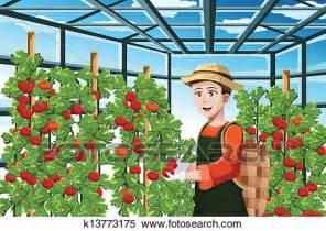 raccolta clipart clipart contadino raccolta pomodori k13773175 cerca