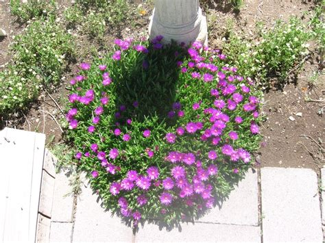hardest flower to grow ice plant these do great in our hard to grow central