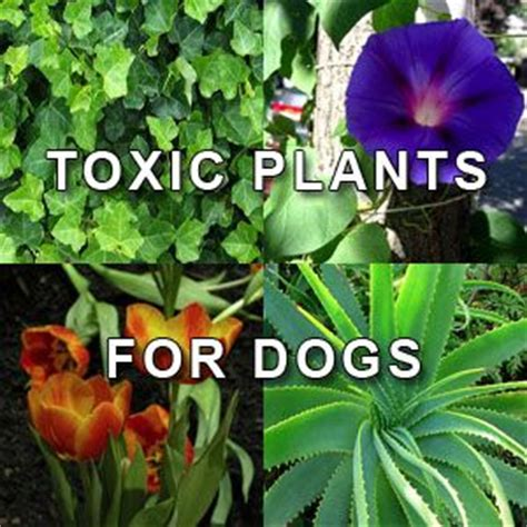 what plants are poisonous to dogs 94 best images about garden dangerous plants on