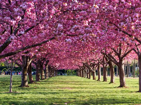 the cherry blossoms started to bloom at