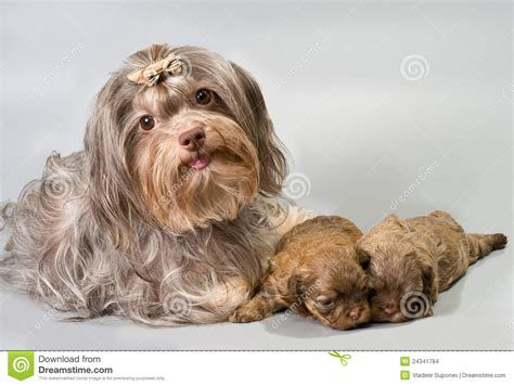 bolonka puppies bolonka zwetna with its puppies stock images image 24341784