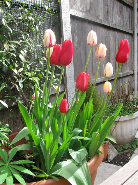 november a good month to plant tulips red darter