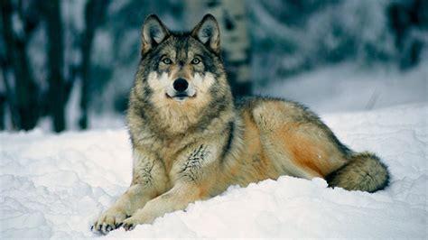 imagenes de animales lobos lobos gu 237 a de especies informaci 243 n b 225 sica fotos y dibujos