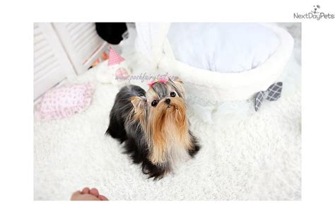 2 pound teacup yorkie dogs and puppies for sale and adoption oodle marketplace