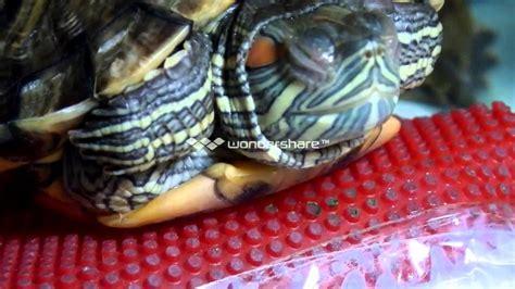 Sleepy Turtle my turtle sleeping