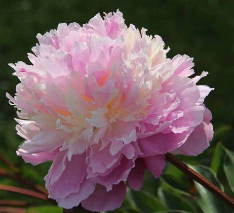 sorbet pink double peony paeonia lactiflora kelways